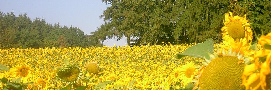 Sonnenblumenfeld bei Auhausen